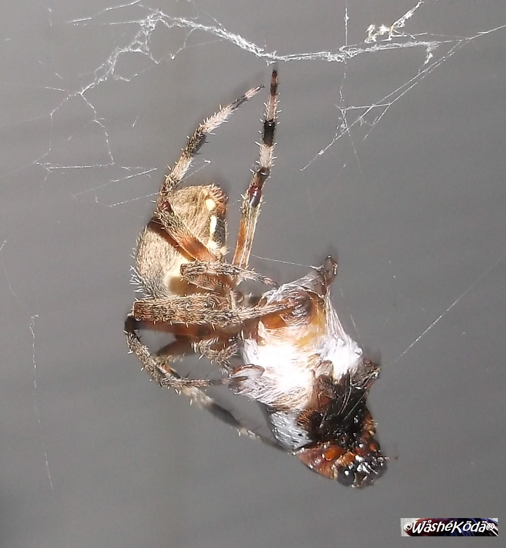 spider lunch-crop