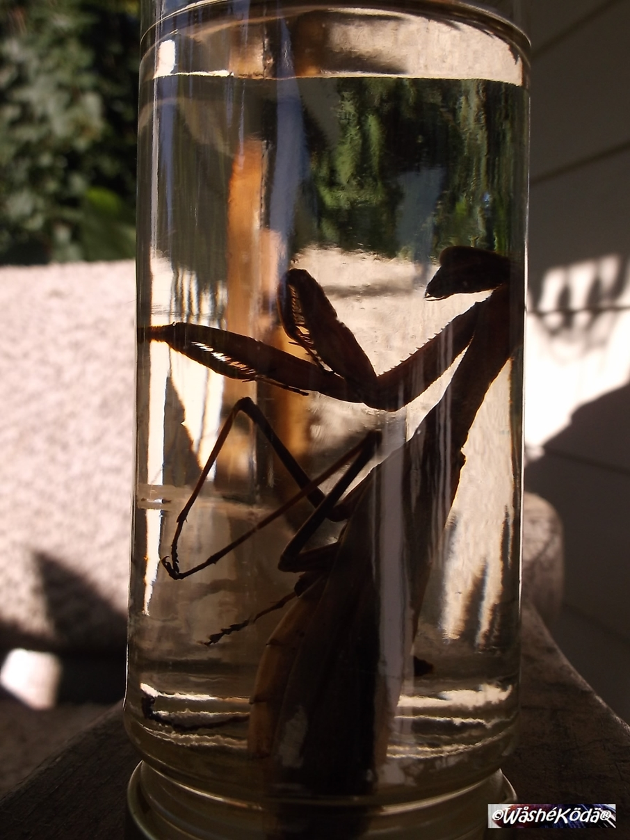 mantis in jar