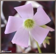 Purple Shamrocks 27Aug17 (1)
