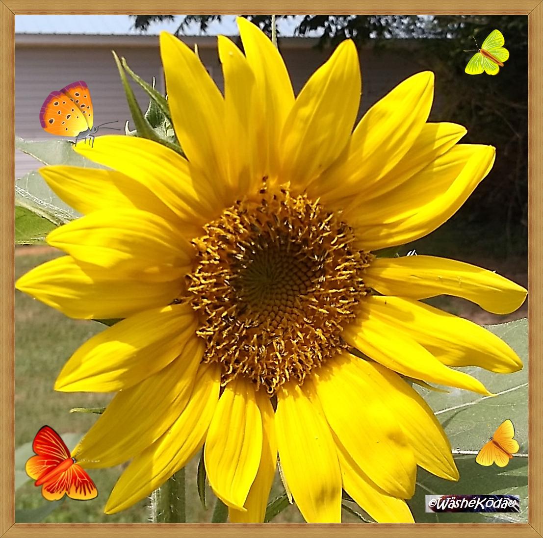 sunflower 12aug19 002-crop