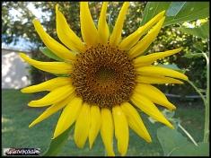 sunflower 25jul19 001
