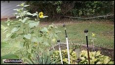 sunflowers 14aug19 001