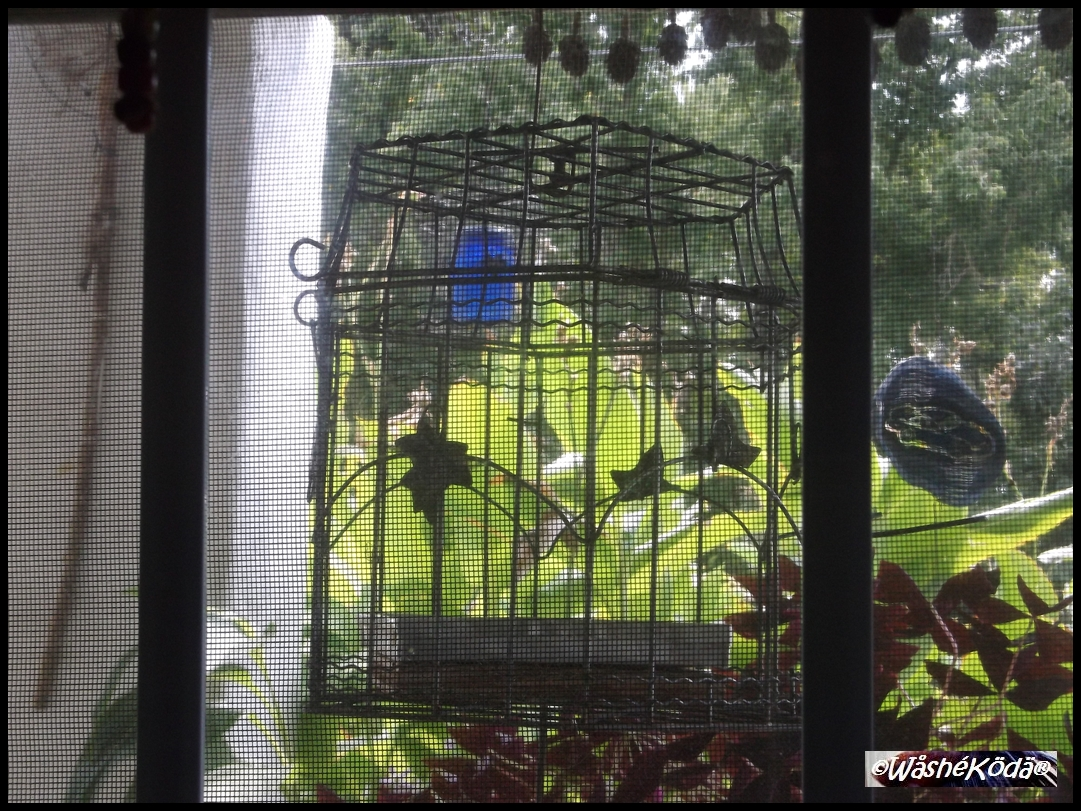 Bird Cage Feeder '18