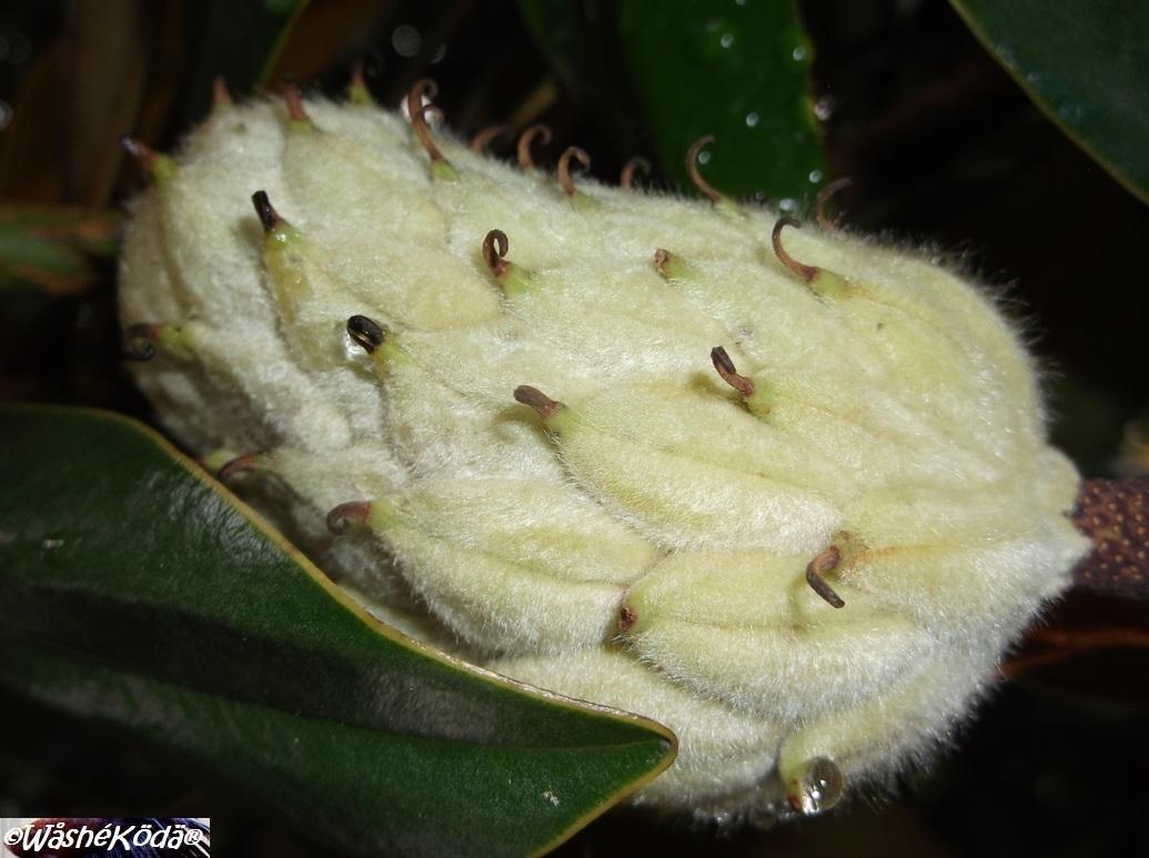 Magnolia seed pod (1)