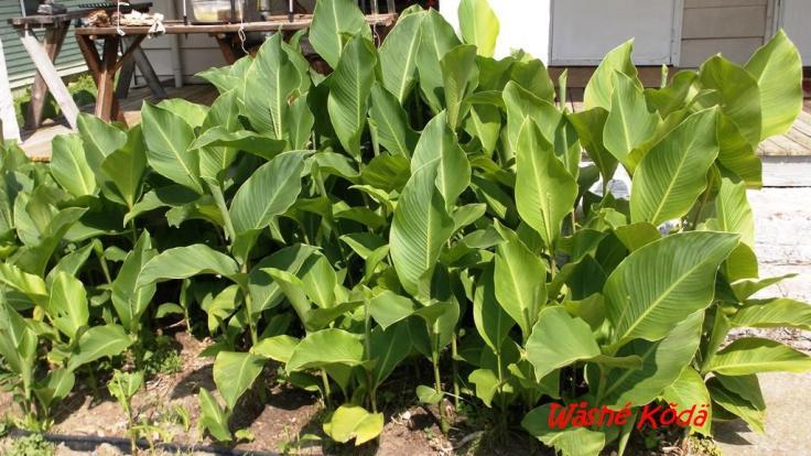 Cana Lilies (35)