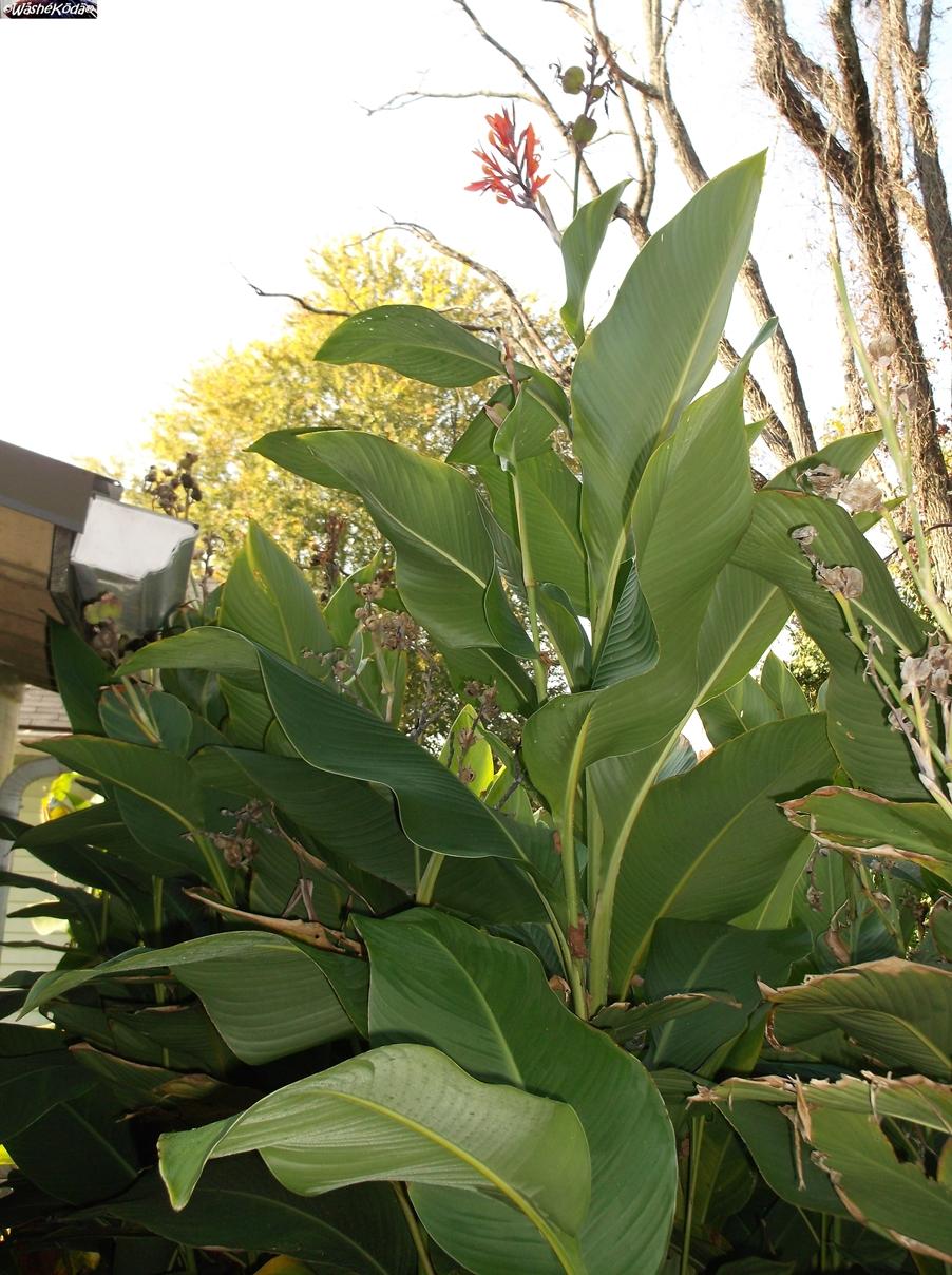 Cana Lilies (57)