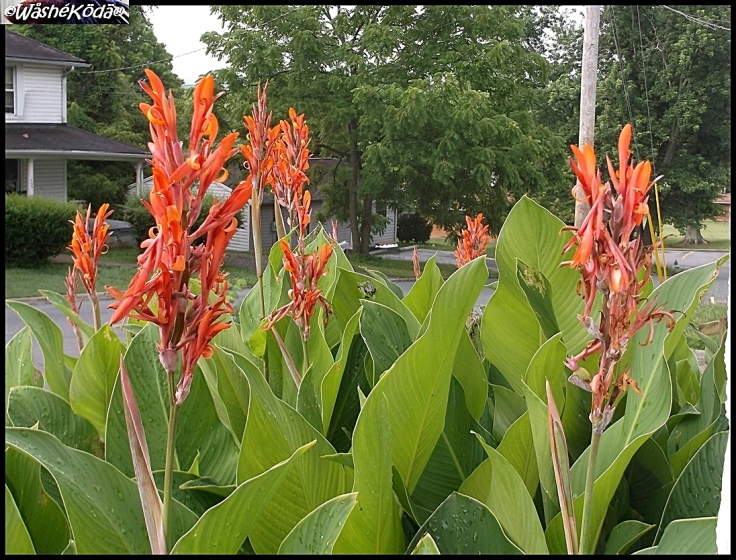 Cannas 20jun17 (4).JPG