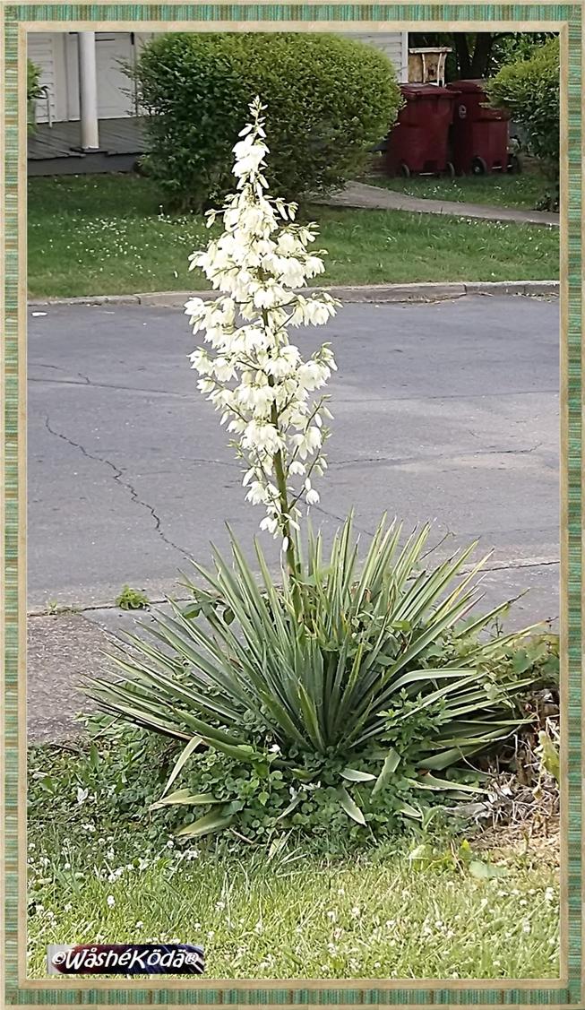 Yucca may2019 (4)