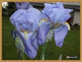 Iris earthday 2017 (2)