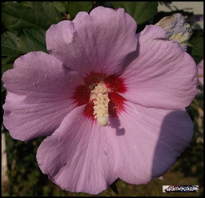 pink shrub flower