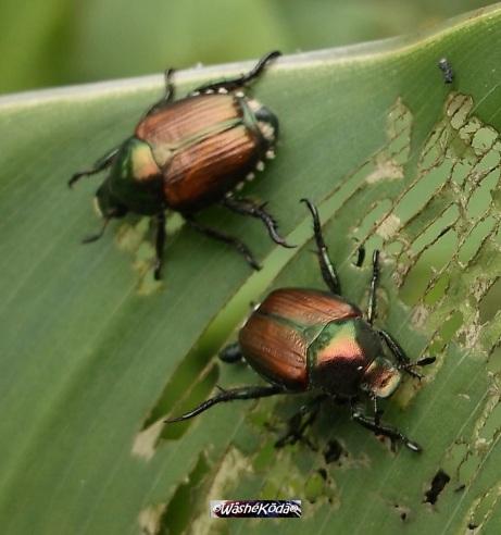 scarab2