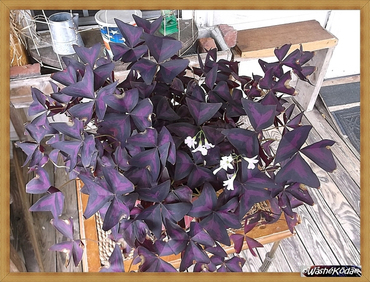 Purple Shamrock 10jun20