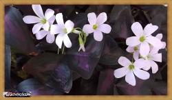 Purple Shamrocks 2020-06-24 004
