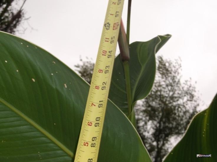 Cana Lilies (56)
