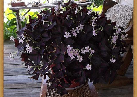 cropped-purple-shamrocks-2020-06-24-002-crop.jpg