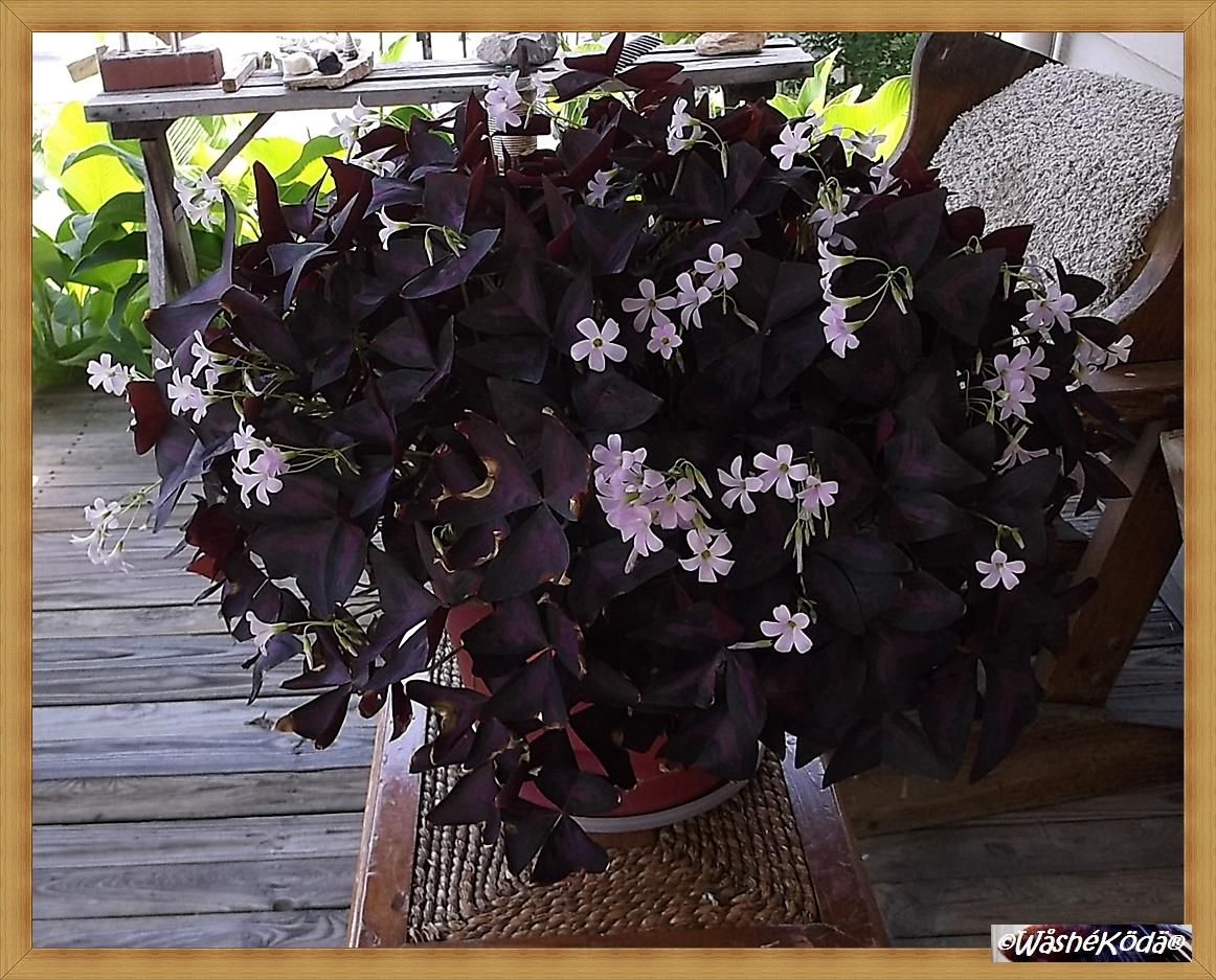 Purple Shamrocks 2020-06-24 002-crop