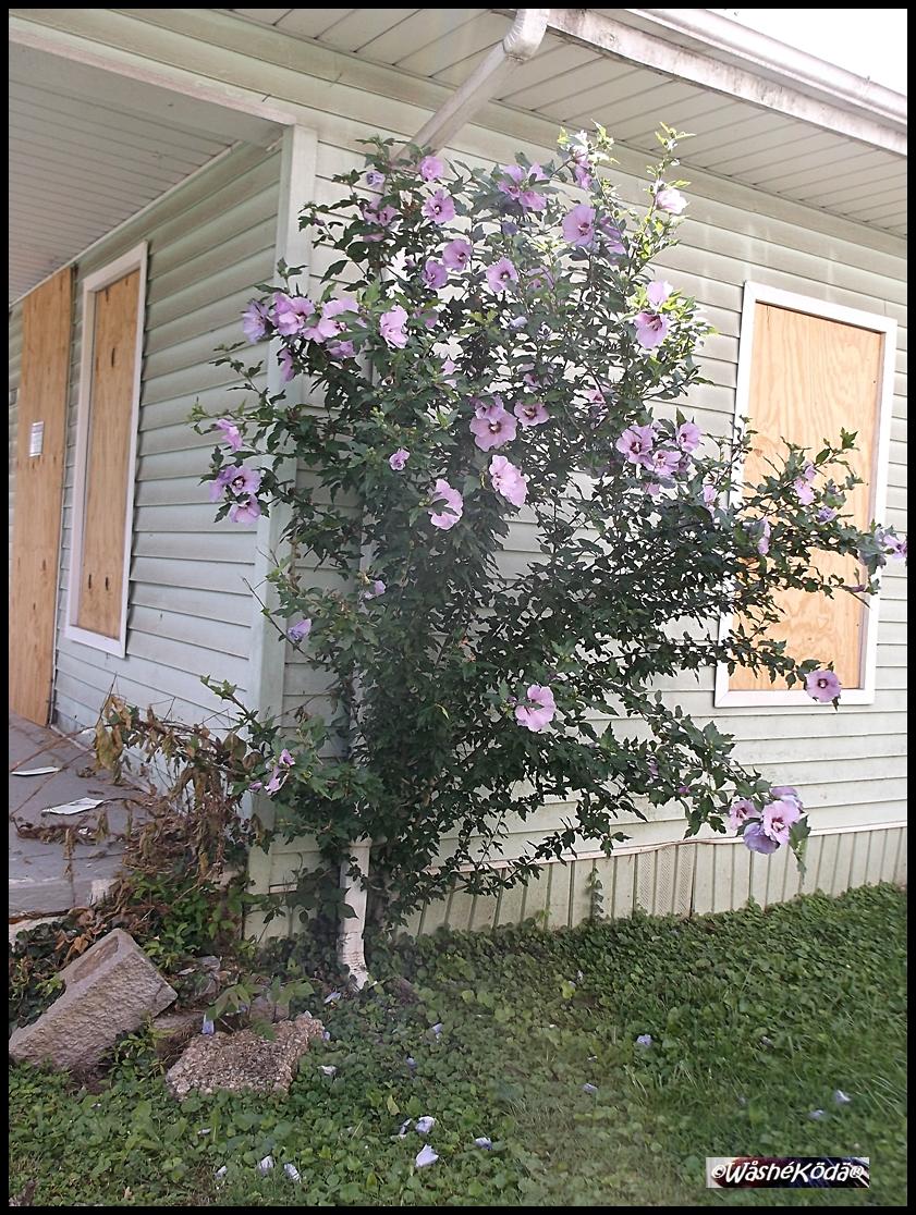 Rain downspout flowers 2020-07-02 001