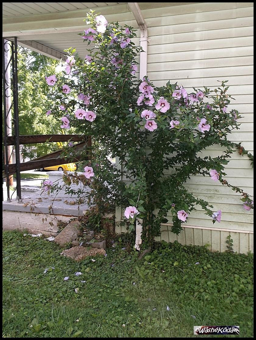 Rain downspout flowers 2020-07-02 002