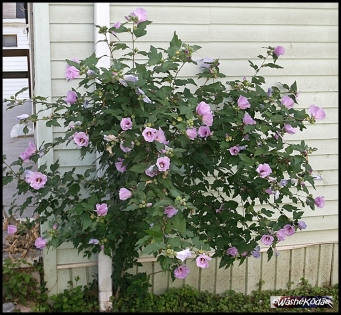 Rose of Sharon bush