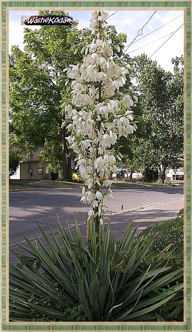 Yucca may2019 (3)